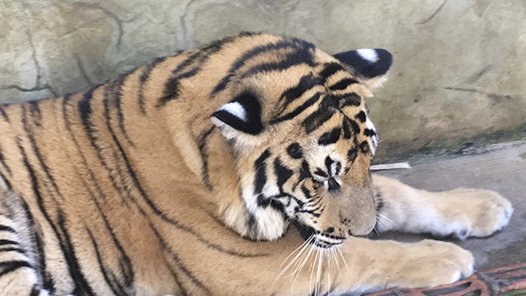 Tiger Kingdom5