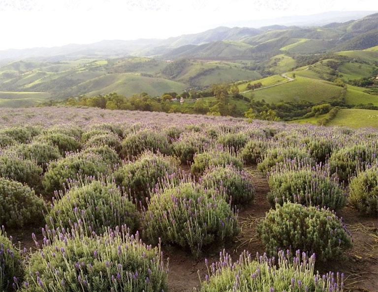 Campo de Lavanda, em Cunha (Foto: divulgação)