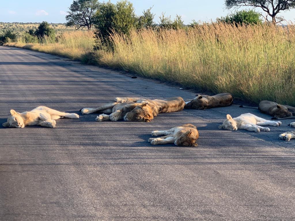 Leões Africa do Sul