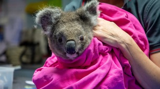Coalas feridos em incêndios na Austrália voltam à natureza após tratamento