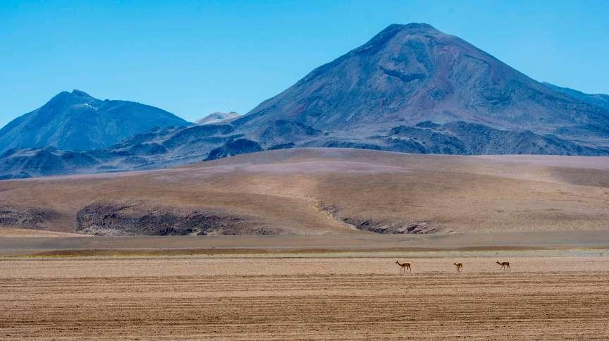 CHILE - 2018/12/03: Vicunas (Vicugna vicugna) crossing the barren landscape near El Tatio Geysers geothermic basin, San Pedro de Atacama area in the Atacama Desert, northern Chile. (Photo by Wolfgang Kaehler/LightRocket via Getty Images)