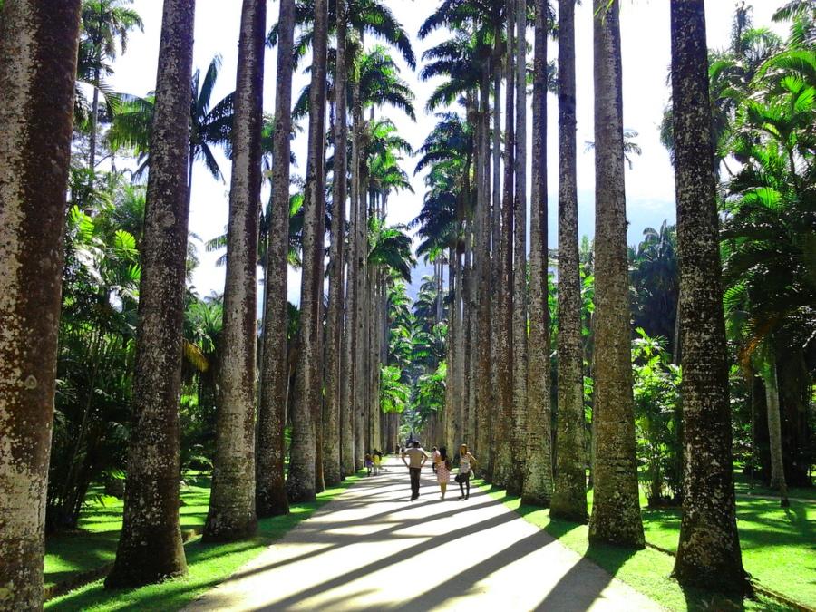 Foto das palmeiras imperiais no jardim botânico do RJ