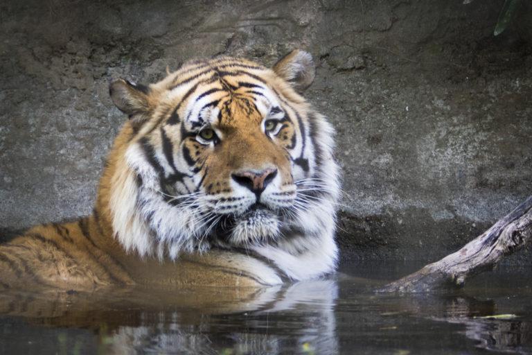 tigre zooparque itatiba
