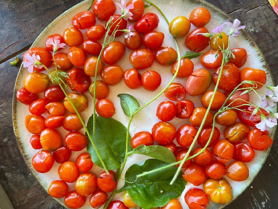 Tomatinhos cereja organicos fazenda Allianca