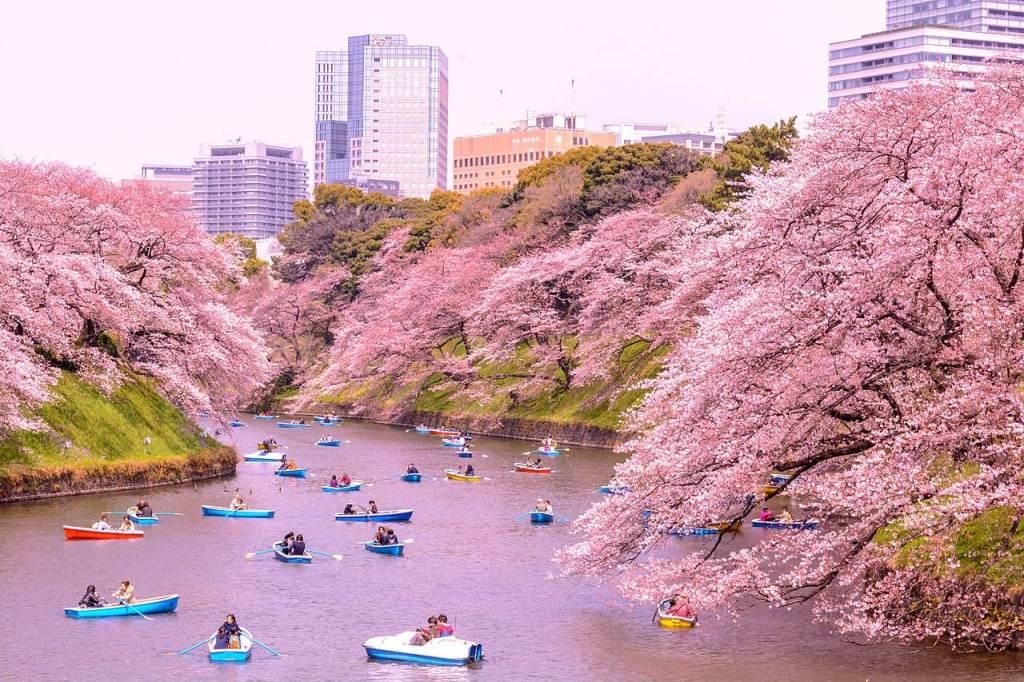 cerejeiras japao