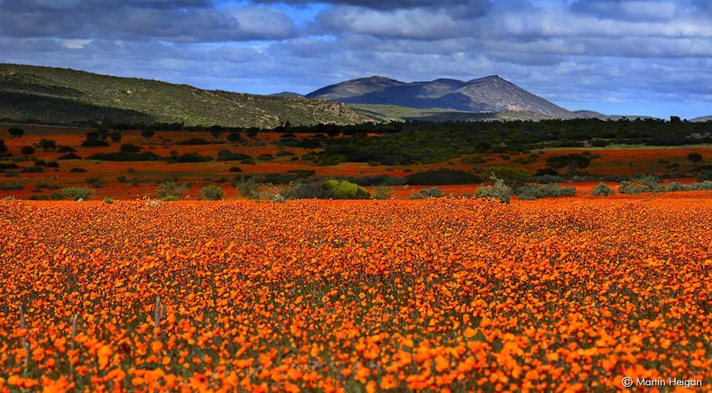 flores silvestres em namaqualand